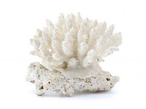 Характеристика белого коралла